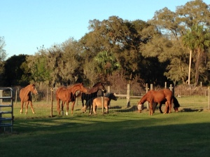The herd greets the visiting horses.